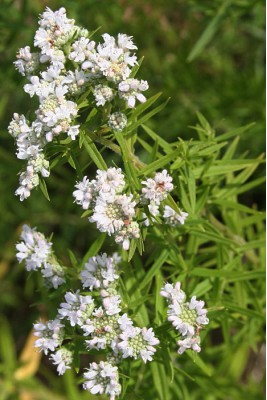 Mountain Mint, a Canadian native plant with small white flowers.