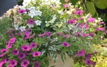 A close up of pink and white flowers in a container