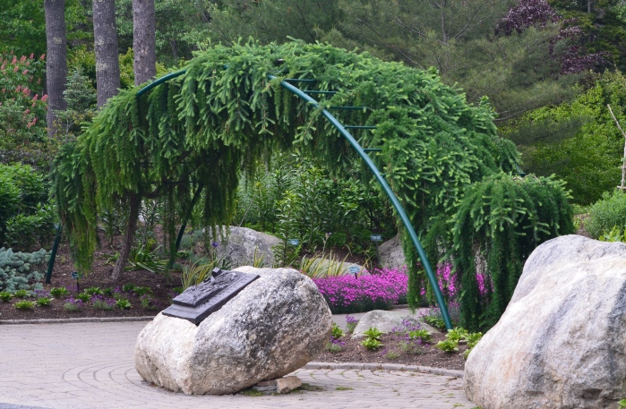 Weeping conifers are trained into an arch