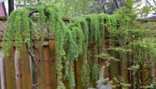 A weeping Japanese larch is a great space saver in a small garden.