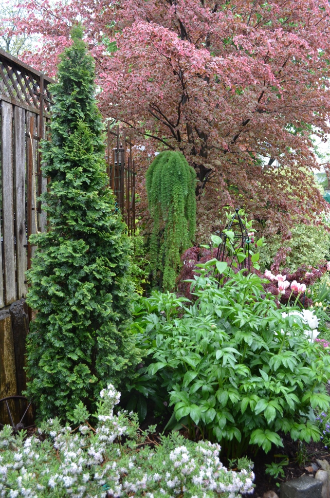 A weeping larch can add vertical interest in a small garden.