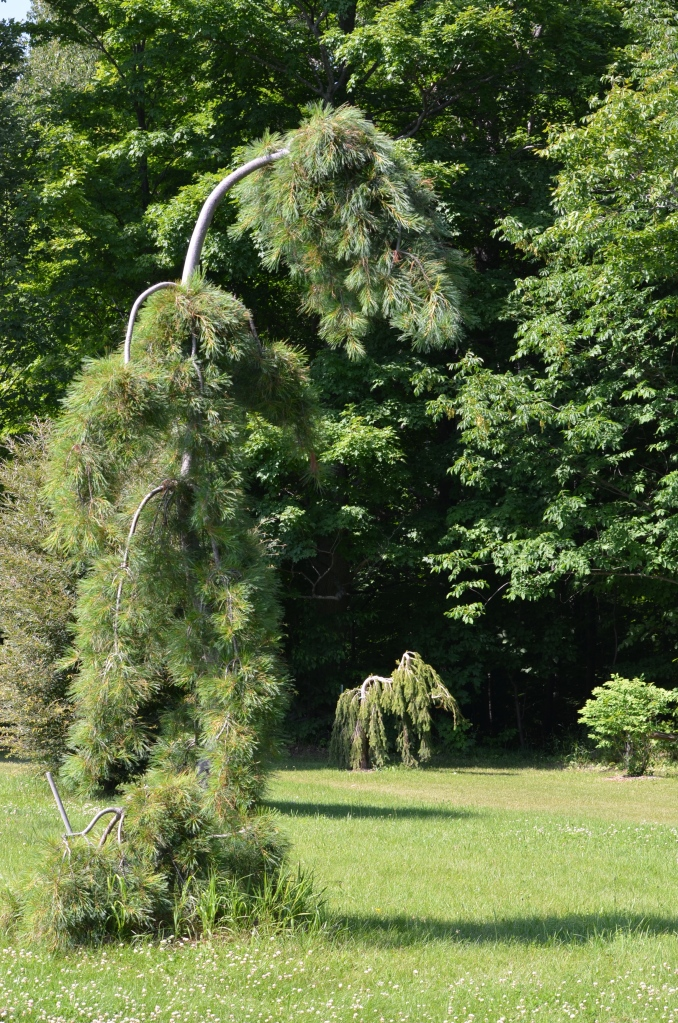 Two weeping conifers look like sculptures in a large garden.