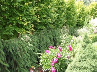 A weeping conifer makes a fence around a garden.