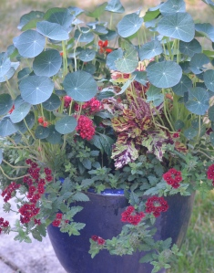 Nasturtium leaves look like parasols in a container planting with verbena, coleus and pentad.