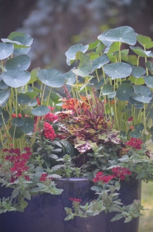 Nasturtium leaves tower over verbena blossoms in a container planting