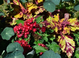 Pentas and coleus add fiery colours in a container recipe.