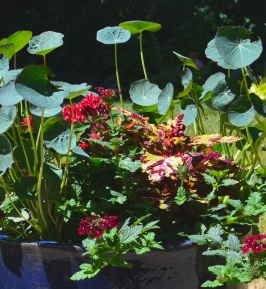 A closer look at a container planting with nasturtiums, verbena, pentas and coleus.