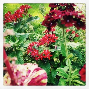 A close up of a container planting showing the rich reds of Royale Romance Superbena with Pentas.