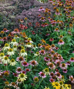 Echinacea flower seeds planted in fall for colour in the garden next year.