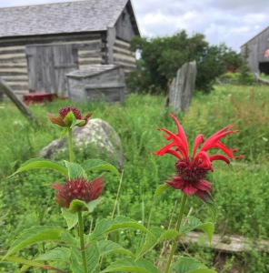Scarlet bee balm can be planted in the fall from seed.
