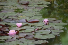 Pink water lilies in a garden in Maine.